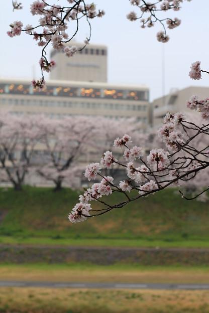 Photos: 桜とホテル