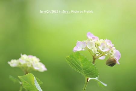 世羅 康徳寺の紫陽花(1)