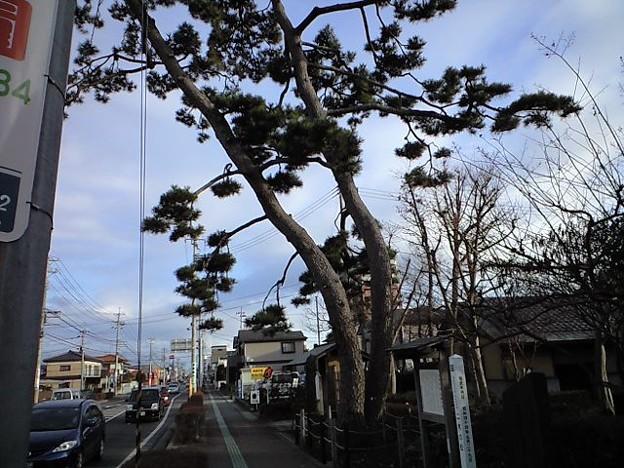 [岩沼市] 武隈の松