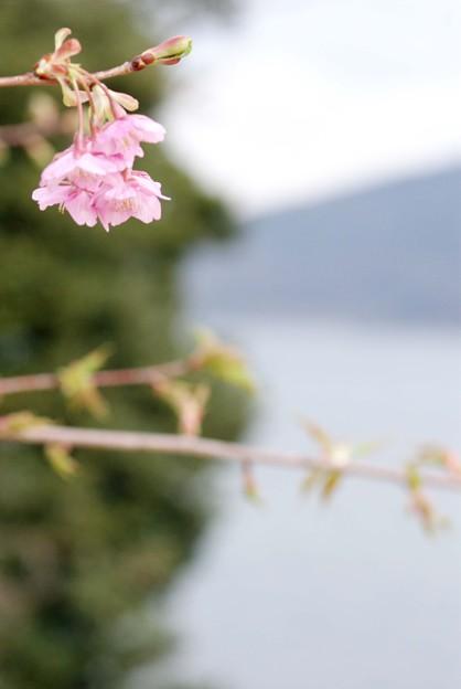 IMGP8999上関町、城山公園河津桜上関海峡