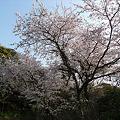 Photos: 愛宕神社の桜
