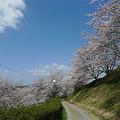 日輪寺の桜(3)