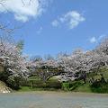日輪寺の桜(1)