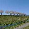 水辺プラザかもとの桜