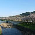 うきは市・流川の桜並木(1)