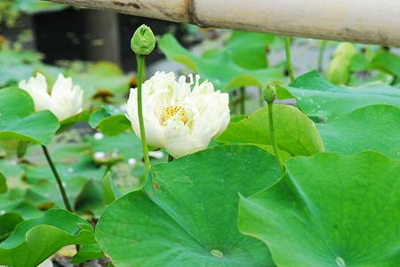 蓮の花06