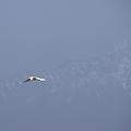 立山連峰を背景に 白鷺(2)