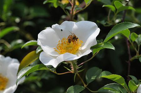 ナニワイバラ+ミツバチ_1