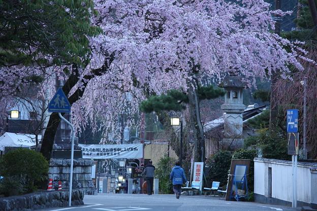 桜巡礼`12'(身延、久遠寺、桜と人編)-3