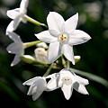 早咲き水仙ペーパーホワイト
