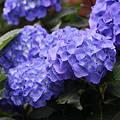 雨上がりの紫陽花4