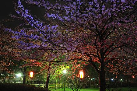 自力ライトアップで桜撮影・5