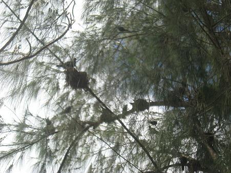 ココス島は鳥の巣だらけ