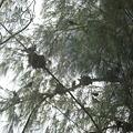写真: ココス島は鳥の巣だらけ